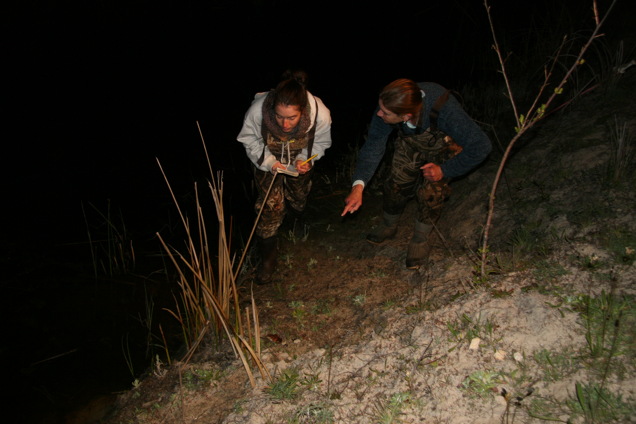 Staying up late to count frogs